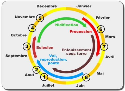 chenille processionnaire pin cycle biologique